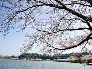 千波湖の花🌸💕の写真・画像素材[1090015]