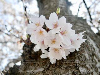 千波湖の桜🌸💕の写真・画像素材[1090016]