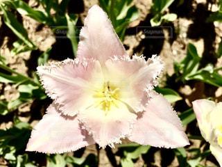 乙女桜という品種のチューリップ🌷の写真・画像素材[1146432]
