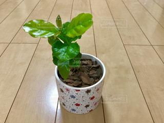 コーヒーの木🌲アラビカ種の写真・画像素材[1206056]