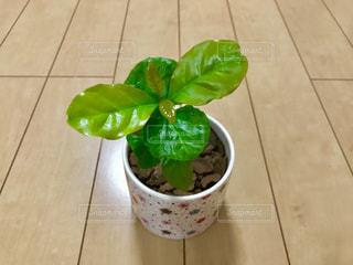 コーヒーの木🌲アラビカ種の写真・画像素材[1206057]