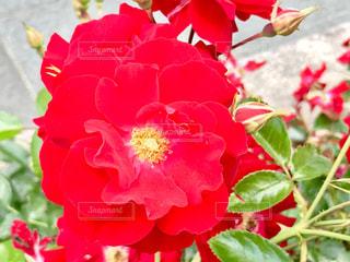 鮮やかな薔薇🌹✨の写真・画像素材[1218948]