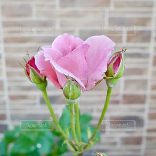 ピンクの薔薇🌹✨の写真・画像素材[1221559]