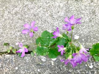 道端のアスファルトから草花🌸の写真・画像素材[1225105]