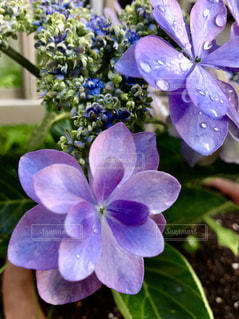 紫陽花🌸ダンスパーティの写真・画像素材[1265252]