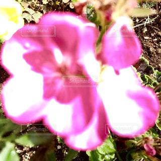 眩しいまま撮ったら花びらが縁どりに写った🌸✨の写真・画像素材[1270037]