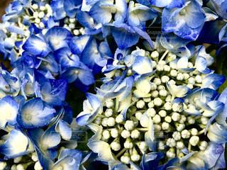 雨上がりの紫陽花の写真・画像素材[1271926]