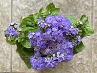 紫色の小花のアゲラタム🌿🌸の写真・画像素材[1302390]