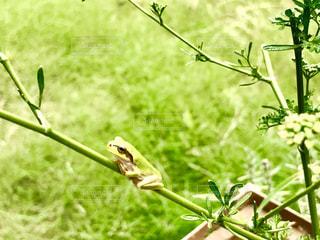 イタリアンパセリの枝の上にカエルさん🐸の写真・画像素材[1311514]