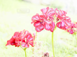 赤いストライプのゼラニウム🌺の写真・画像素材[1311618]