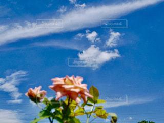 バラと蝶の様な雲☁️εïз。*の写真・画像素材[1417359]