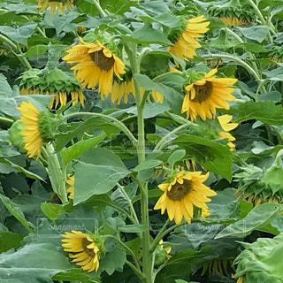 一本の茎から、たくさんの花が咲いています🌻の写真・画像素材[1426483]
