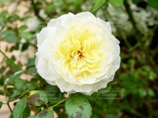 淡い黄色いバラ🌹✨の写真・画像素材[1486377]