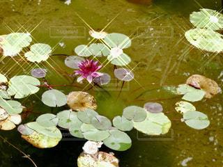 一輪の蓮の花の写真・画像素材[1486392]
