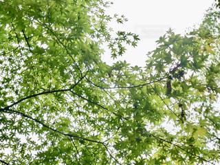 空に広がるモミジの写真・画像素材[1492489]