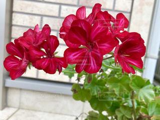 赤いゼラニウムの花🌺の写真・画像素材[1511928]