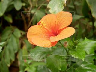 オレンジ色の花🌼の写真・画像素材[1543030]