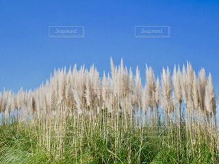青空にススキの写真・画像素材[1593011]