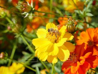 キバナコスモス🌼と蜂🐝の写真・画像素材[1593057]