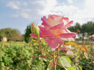 ピンクの薔薇🌹✨の写真・画像素材[1593528]