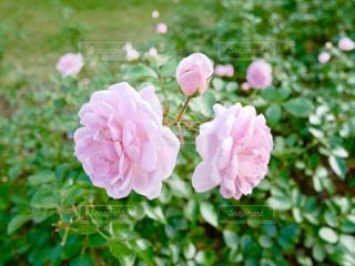 ピンクの薔薇🌹✨の写真・画像素材[1593529]