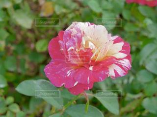 ピンクと白の薔薇🌹✨の写真・画像素材[1593530]