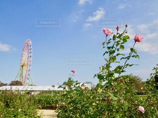ピンクの薔薇と観覧車🎡の写真・画像素材[1593557]
