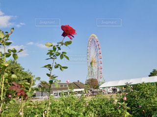 赤い薔薇と観覧車🎡の写真・画像素材[1593558]