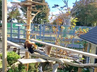 レッサーパンダの写真・画像素材[1608568]