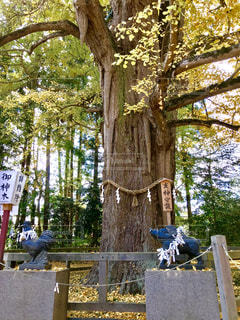 水戸八幡宮の御神木の写真・画像素材[1638644]