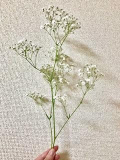 かすみ草の写真・画像素材[1640569]