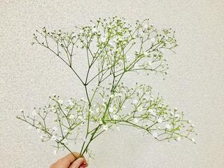 手に持つかすみ草❀✿の写真・画像素材[1695142]