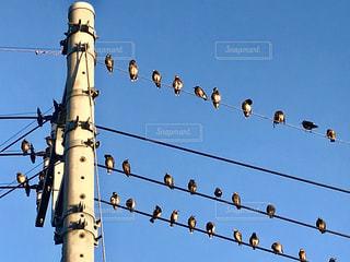 電線に並ぶ野鳥 ^( 'Θ' )^の写真・画像素材[1700200]