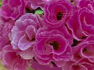 鮮やかピンクの花🌸プリムラの写真・画像素材[1798501]