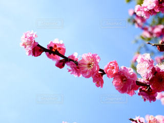 鮮やかな梅の花🌸の写真・画像素材[1813842]
