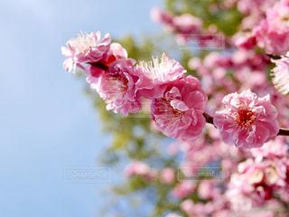 鮮やかな梅の花🌸の写真・画像素材[1813844]