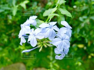かわいい水色の花の写真・画像素材[1820425]