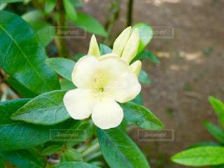 かわいい黄色の花🌸の写真・画像素材[1820428]