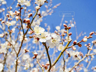 咲き始めた梅の花🌸の写真・画像素材[1822312]