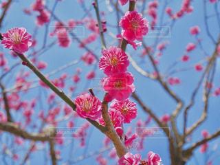 梅の花🌸の写真・画像素材[1835482]