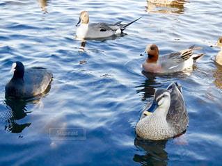 千波湖の水鳥の写真・画像素材[1849174]