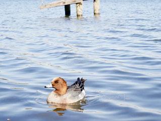 千波湖を泳ぐ鳥の写真・画像素材[1849175]
