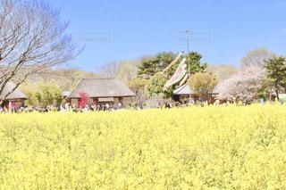 菜の花と古民家の風景🎏の写真・画像素材[2051178]