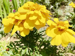 マリーゴールドと葉(左下)の上のてんとう虫🐞の写真・画像素材[2114644]