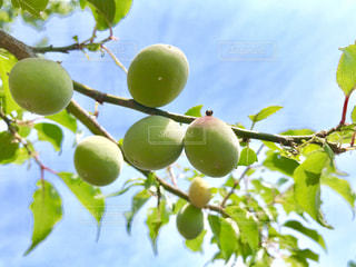 梅の実の写真・画像素材[2179746]