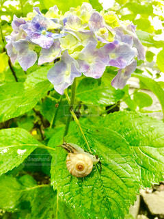雨の日の紫陽花とかたつむり🐌の写真・画像素材[2218259]