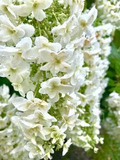 雨に濡れる白い紫陽花の写真・画像素材[2218270]