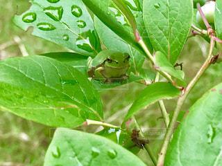ブルーベリーの葉っぱの下で雨宿りしているカエルさん🐸の写真・画像素材[2250757]