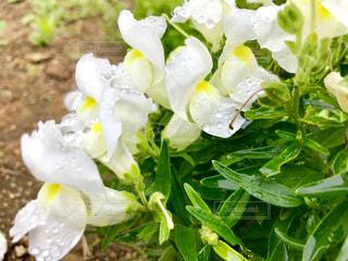 白い金魚草ϵ( 'Θ' )϶の写真・画像素材[2283662]