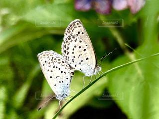2匹のシジミチョウの写真・画像素材[2293928]